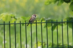 sparrow on a metal fence