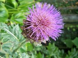 purple thistle on green field