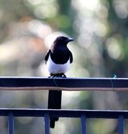 Elster is an ordinary magpie