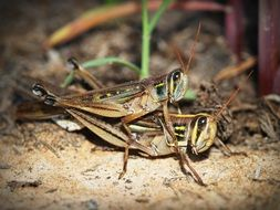 grasshoppers mating on the ground