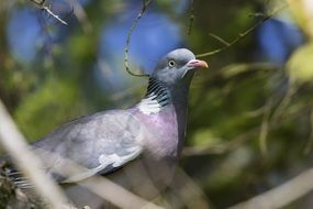 wild grey Pigeon among branches