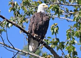 perched majestic bald eagle