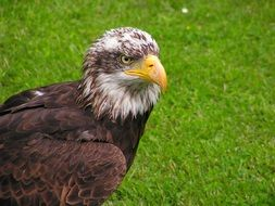 bald eagle with yellow beak on a grass background