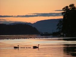 family of swans on the lake at sunset