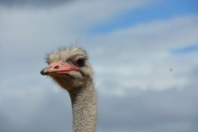 Ostrich on a farm in South Africa