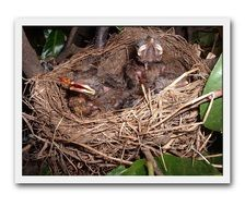 Birds Merlo Nest Small Chicks