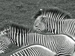 Zebras Black And White photo