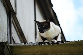 siamese domestic cat on the roof