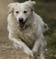 white retriever on the run