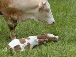 young farm cattle with mother