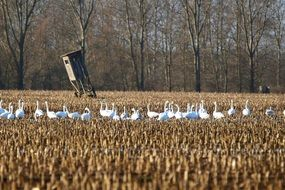 flock of white whooper swans