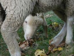 Sheep chews dry grass