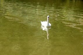 white Swan on calm green water