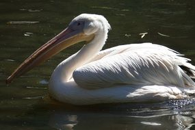 Pelican with big beak in the water