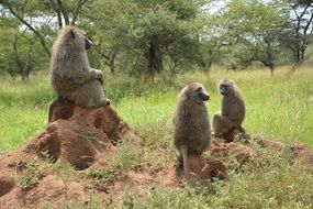 monkeys in a national park in africa