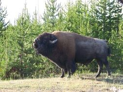 big bison in the fir forest, usa, wyoming