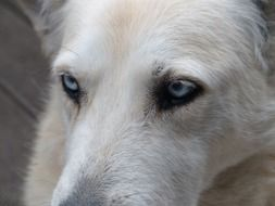 portrait of a dog with blue eyes