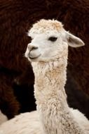 portrait of a white curly alpaca