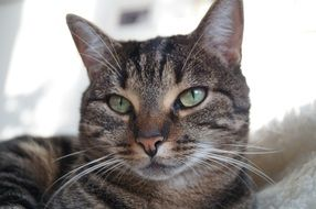relaxed tabby tom cat