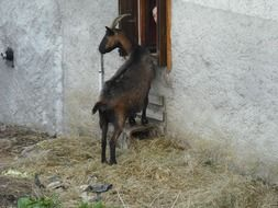 Brown Goat Animals