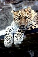 Picture ofo Leopard is resting