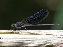filigree black dragonfly in wetland