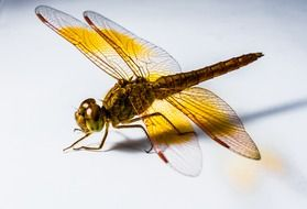 yellow filigreed dragonfly on the white background