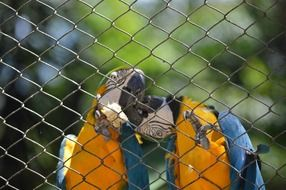 Macaws are kissing