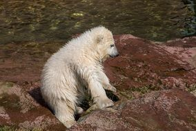 young polar bear in the Nuremberg zoo