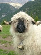 white sheep with black nose in Switzerland