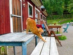 ginger domestic cat on a wooden bench