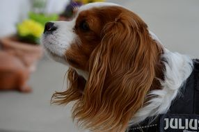 Cavalier King Charles Spaniel looking away