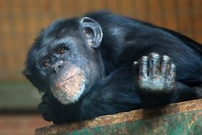 young black chimpanzee resting