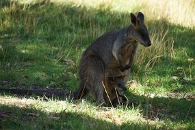 Mother and baby kangaroos