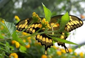 yellow-black butterfly among yellow flowers