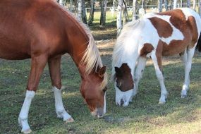 grazing german reitponies