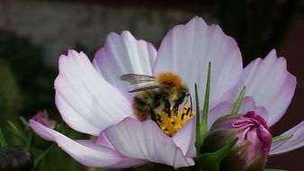 fluffy bee on a white-pink flower