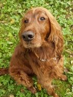 photo of brown hunting dog