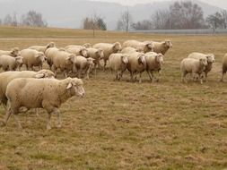 a flock of sheep go to pasture