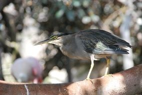 profile of a little heron