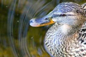 Grey duck in pond