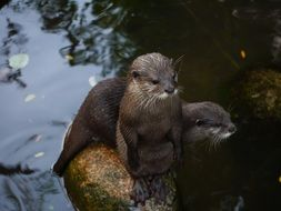 clawed otters