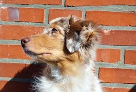 Australian Shepherd dog against the backdrop of a brick wall