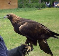 large bird of prey on the hand of a man in adler
