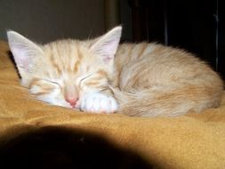 sleeping ginger kitten