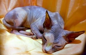 Photo of the sphinx cat