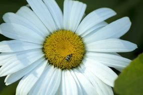 tiny bug on the daisy