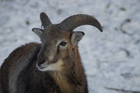 mouflon in wintertime