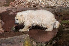 sweet young polar bear in the Nuremberg zoo