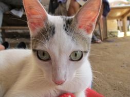 domestic cat with big ears